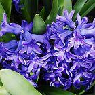 Himmlische blaue Hyazinthen von BlueMidnight