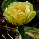 Prickly Pear Cactus by Phillip M. Burrow