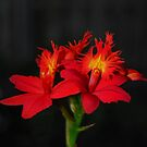 Red Epidendrum by Jason Pepe