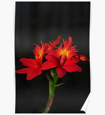 Red Epidendrum Poster