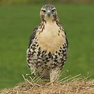 Red-tail Strut by Wayne Wood