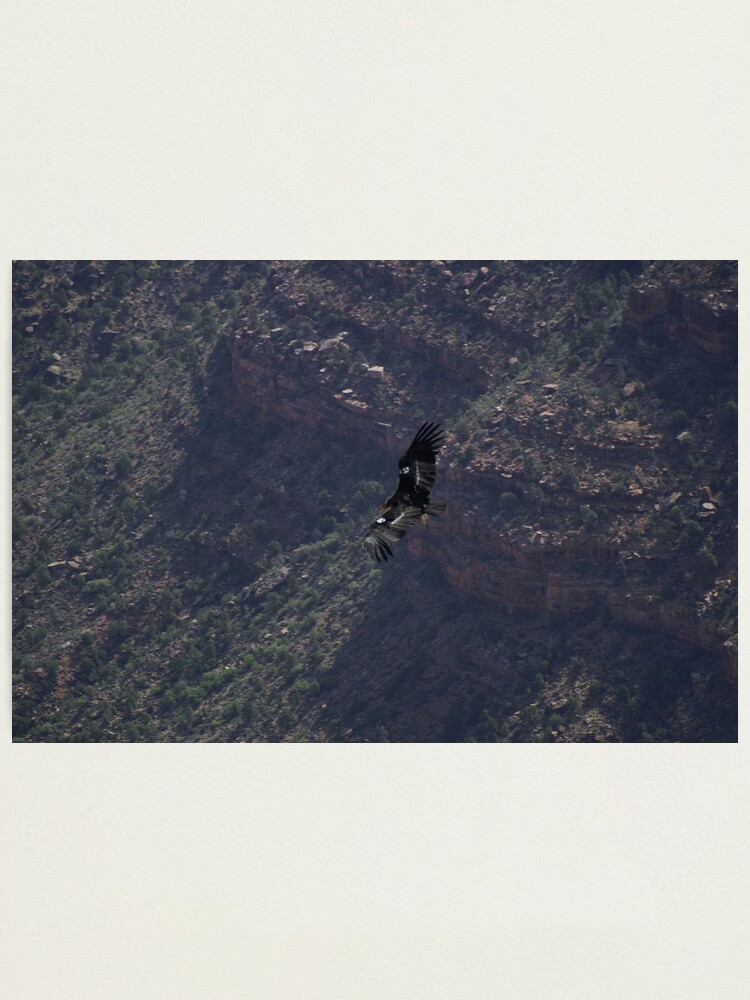 Alternate view of Grand Canyon - Vulture in Flight Photographic Print