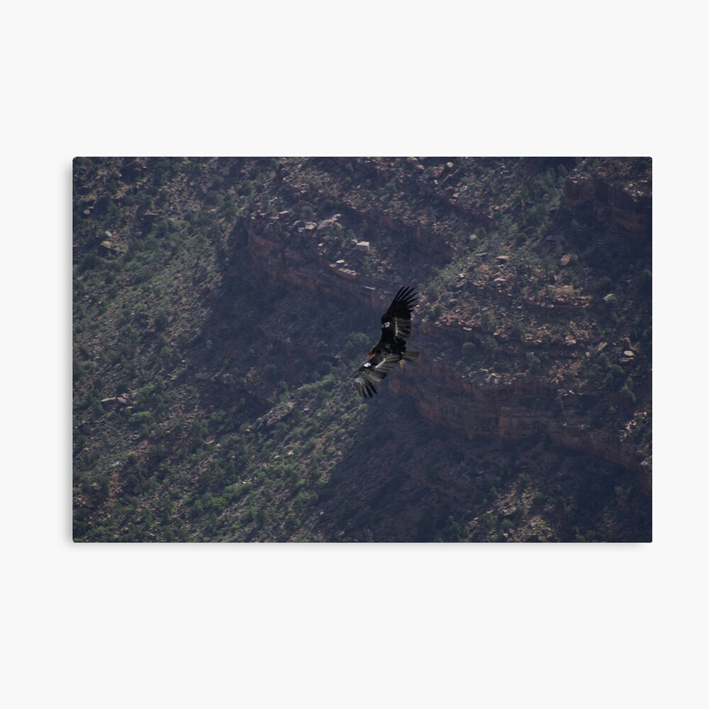 Grand Canyon - Vulture in Flight Canvas Print