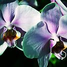 Orchid  Twins by Mattie Bryant