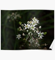 Garlic chive flowers Poster