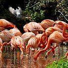American Flamingoes  by Martina Nicolls
