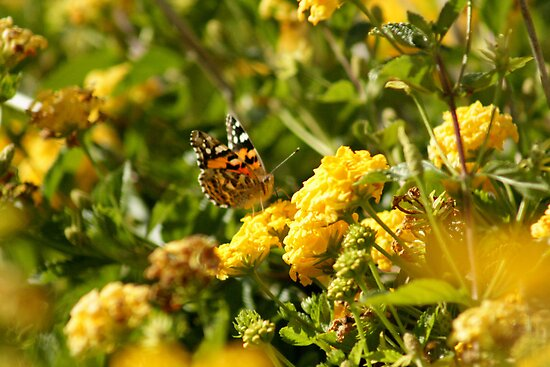Butterfly on Yellow Lantana 2 by TeAnne