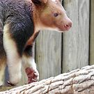 Goodfellow's Tree-Kangaroo  by Martina Nicolls