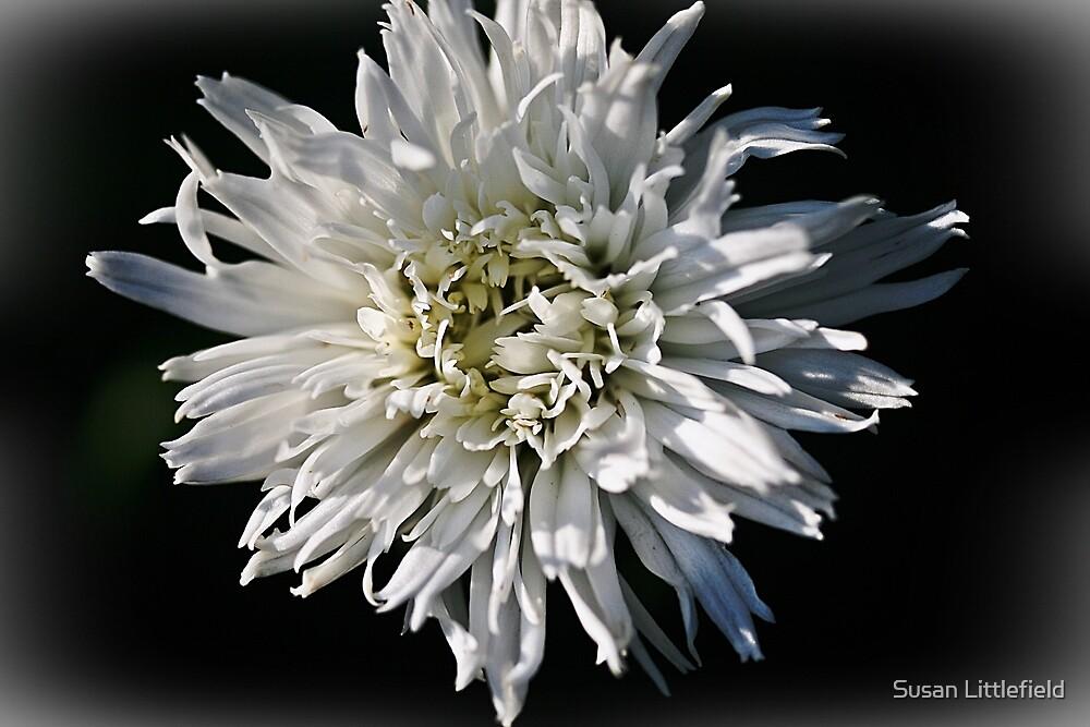 Daisy by Susan Littlefield
