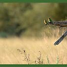 Little bee-eaters by Yves Roumazeilles