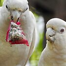 Red-Vented Cockatoo eating dragon fruit  by Martina Nicolls
