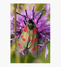 Six Spot Burnet Moth Photographic Print