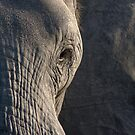 Elephant, ear and eye by Yves Roumazeilles