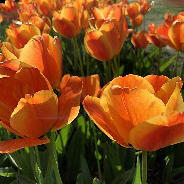 Spring - Orange Tulip by agnessa38