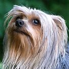 Ash the Yorkie by Lolabud