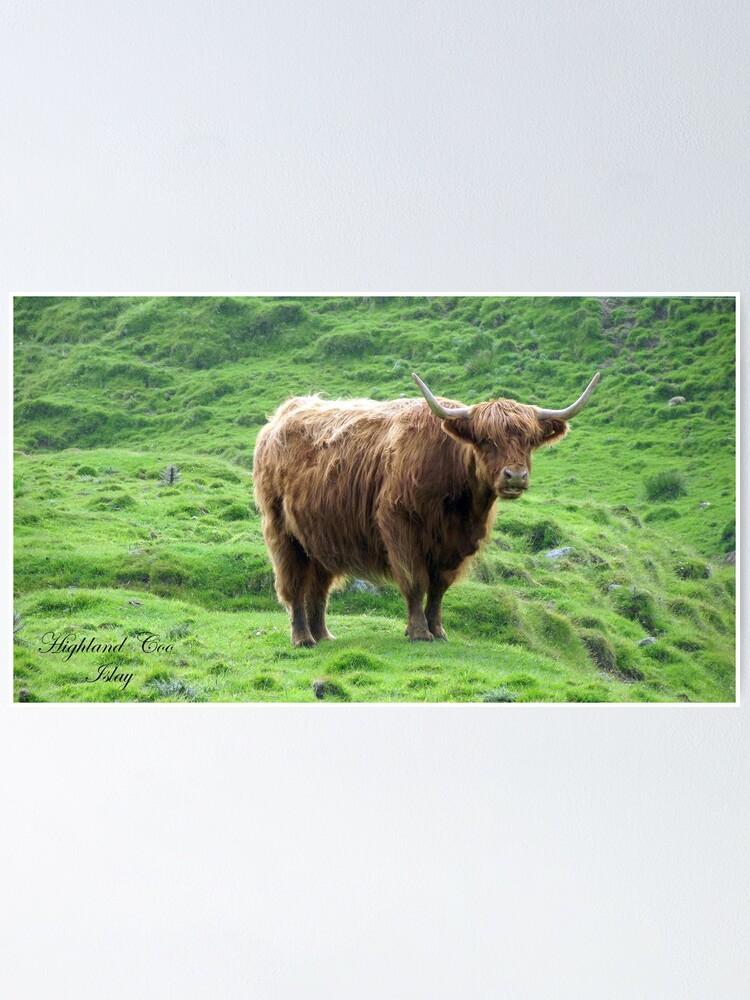 Alternate view of Highland Coo Poster