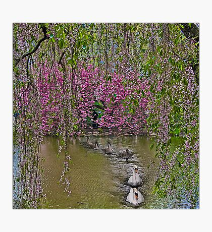 The Swans & The Weeping Cherries  Photographic Print