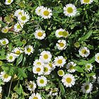 Wall Daisies In My Garden (Erigeron) by lezvee