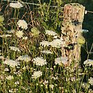 Queen's Lace Against a Fence Post by teresa731