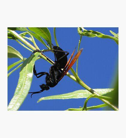 Tarantula Hawk Photographic Print