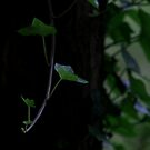 Ivy Hanging Low by RockyWalley