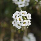 Sweet alyssum by Sangeeta