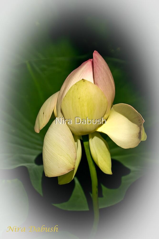 Lotus Light  by Nira Dabush