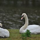 The Swans by Corkle