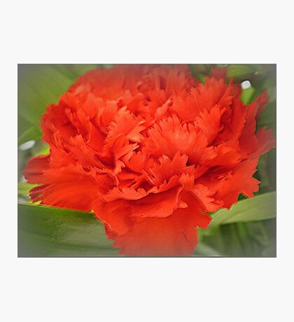 Carnation - Brilliant Red Photographic Print