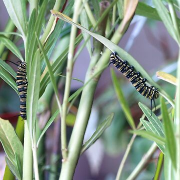 Chomping Machines - Monarch Caterpillars by junglequeen