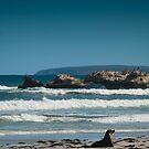 Kangaroo Island sea lion beach scape  by Stephen Colquitt