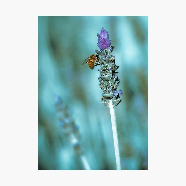 ...lavender blue... Photographic Print