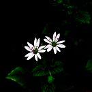 «Bodegón Botánico Pequeñas Flores Blancas» de by-jwp