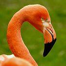 American Flamingo up close by Martina Nicolls