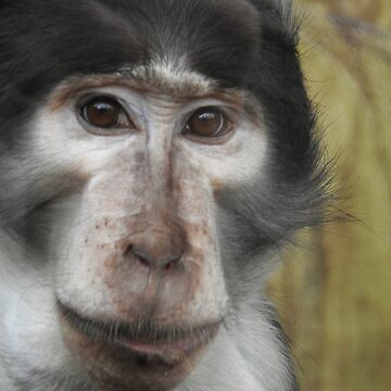 Sooty Mangabey Monkey by martina