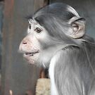 Sooty Mangabey Monkey in profile  by Martina Nicolls