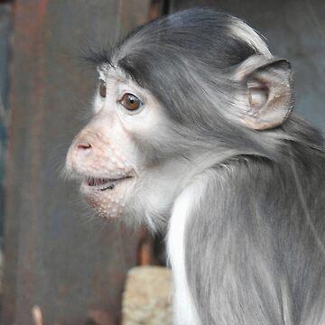 Sooty Mangabey Monkey in profile  by martina
