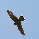 Kestrel Overhead by Dave Godden