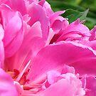 Pink Peony Petals by Stephen Thomas
