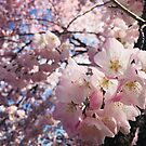 Sweet Cherry Blossoms in the Sun by MichalisStudio