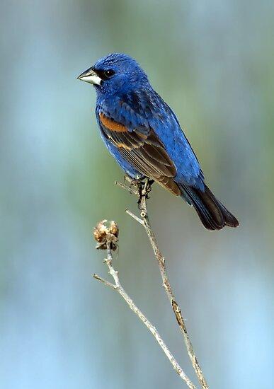 Blue Grosbeak (male) by Michael Mill