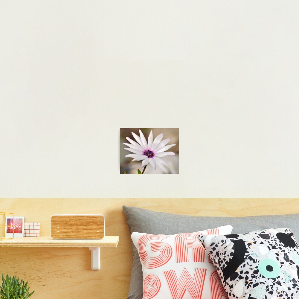 South African Daisy Photographic Print