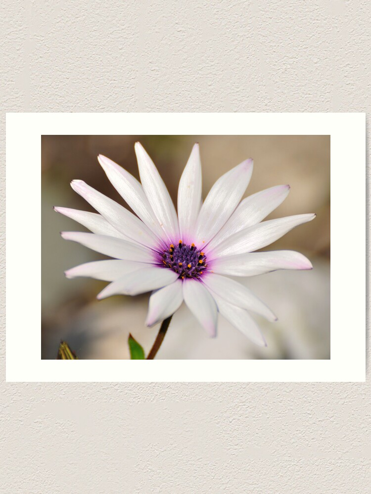 Alternate view of South African Daisy Art Print