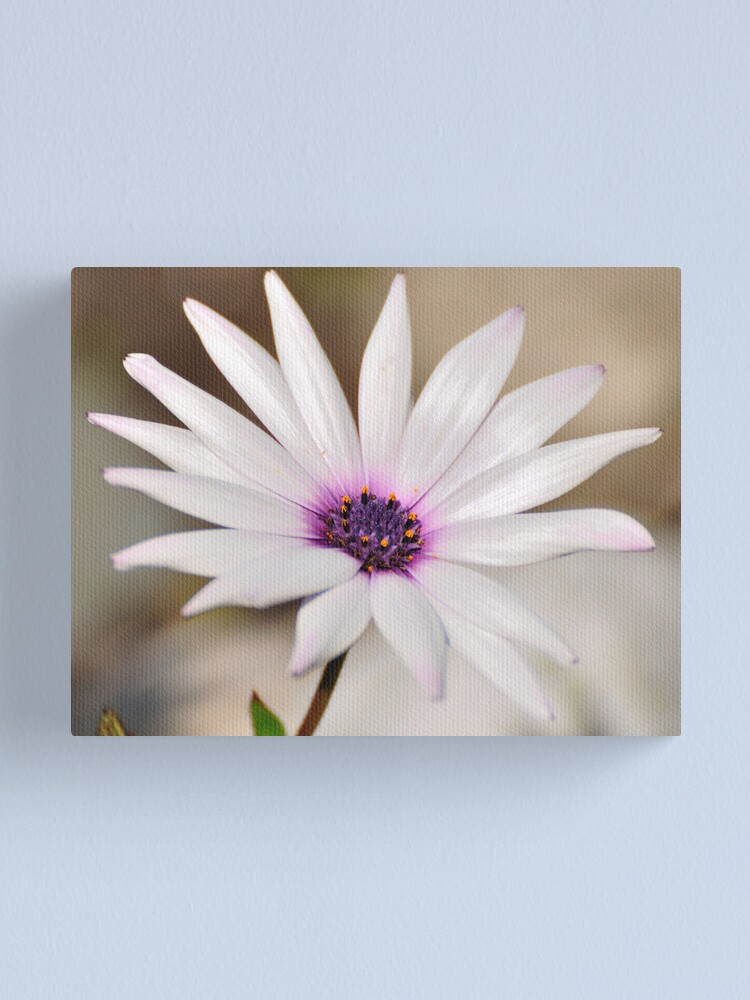 Alternate view of South African Daisy Canvas Print