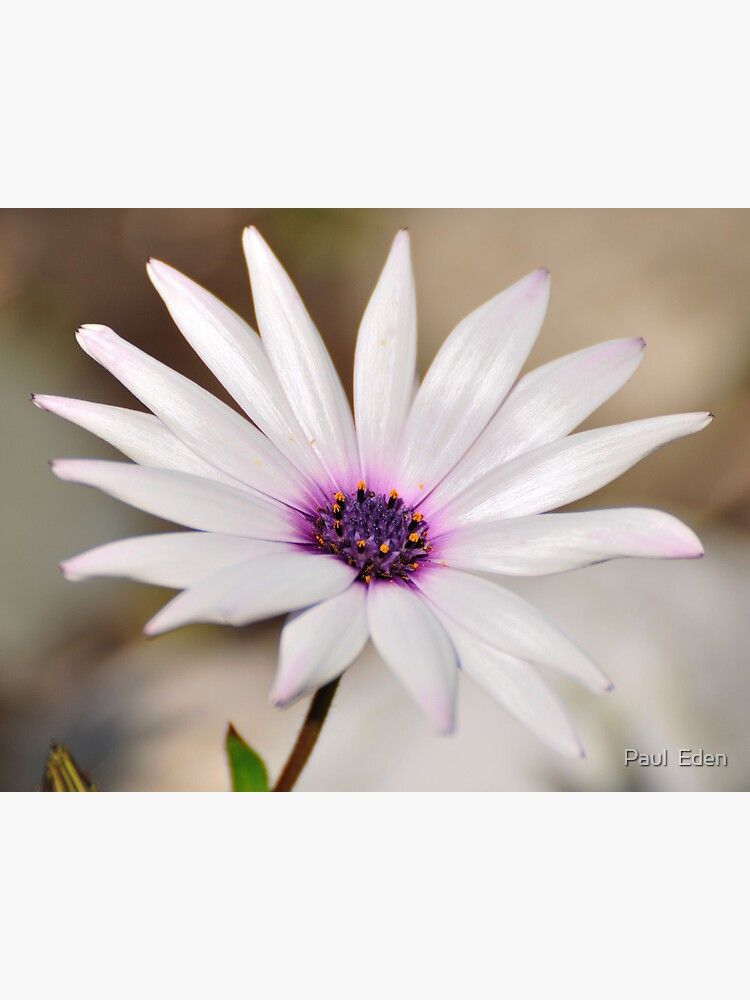 South African Daisy by pauleden