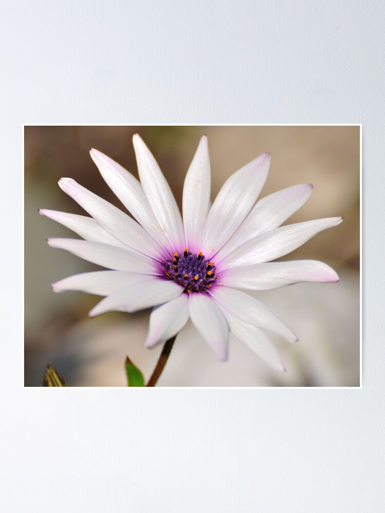 Alternate view of South African Daisy Poster