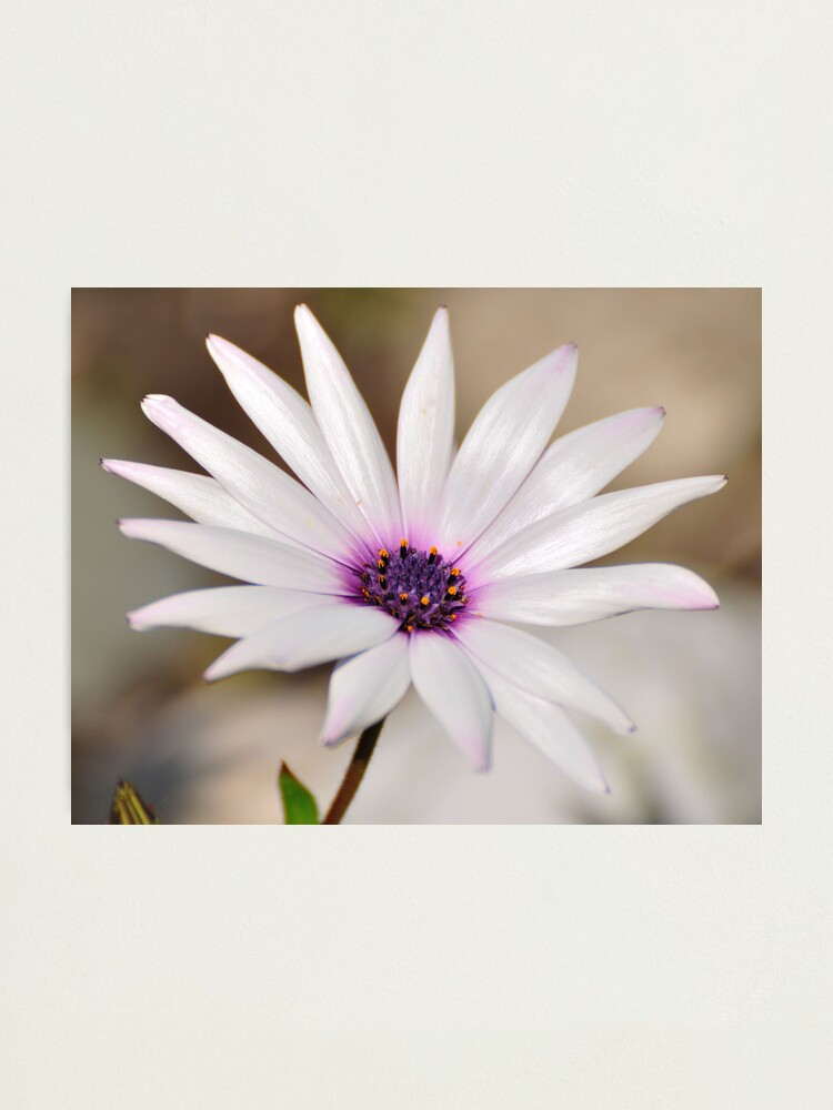 Alternate view of South African Daisy Photographic Print