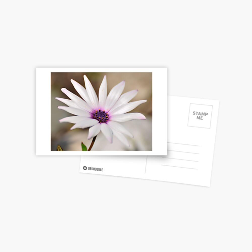 South African Daisy Postcard