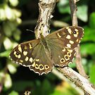 Speckled Wood Butterfly by Lauren McGregor