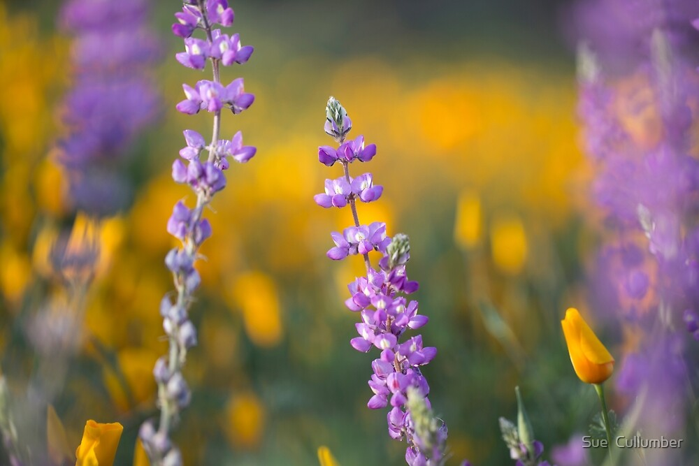 Among Wildflowers by Sue  Cullumber